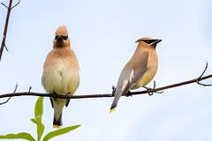 Cedar Waxwings (Gary R Rogers) Tags: bird perched oregon cedarwaxwing pair