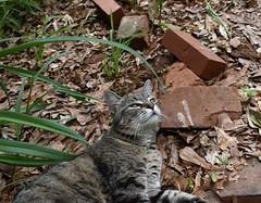 pillow of bricks (rootcrop54) Tags: camille female mackerel tabby cat red bricks outdoors neko macska kedi 猫 kočka kissa γάτα köttur kucing gatto 고양이 kaķis katė katt katze katzen kot кошка mačka gatos maček kitteh chat ネコ