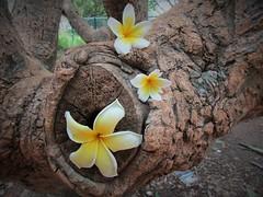 IMG_8995 (belight7) Tags: frangapani flowers tree lalbagh park nature bangalore india karnataka
