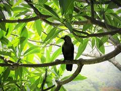 IMG_8994 new friend (belight7) Tags: tree frangipani friendly crow bird lalbagh park nature bangalore india karnataka