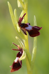 Fly Orchid Ophrys insectifera (Jelltex) Tags: flyorchid ophrysinsectifera orchid kent jelltex jelltecks