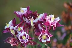Blütenzauber (klingerfoto) Tags: blumen blüten pflanze gewächs garten gartenpflanze canoneos750d canon canoneos bloomen planten flowers