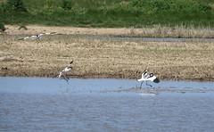 Avocets (hedgehoggarden1) Tags: avocets birds wildlife waders creatures sonycybershot animals rspb norfolk eastanglia uk cleymarshes norfolkwildlifetrust sony bird