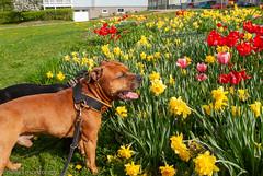 Sunday walk with the dogs (aixcracker) Tags: nikond200 nikonaf20mmf28d borgå porvoo suomi finland spring vår kevät may maj toukokuu europe europa eurooppa