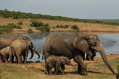 family fun - Addo Elephant National Park (sirmick53) Tags: southafrica südafrika holiday urlaub natur nature africa colours adventure animals tiere elephants