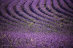 Lavender (Olmux82) Tags: lavender nikon provence france valensole field summer rural d750 paesaggio