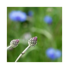 wildflowers-1150663-180519_DxO (Peadingle) Tags: apex park highbridge somerset wild flower meadow close up
