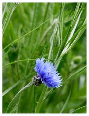 wildflowers-1150662-180519_DxO (Peadingle) Tags: apex park highbridge somerset wild flower meadow close up