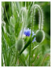 wildflowers-1150660-180519_DxO (Peadingle) Tags: apex park highbridge somerset wild flower meadow close up