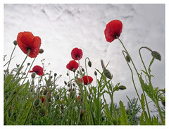 wildflowers-1150629-180519_DxO (Peadingle) Tags: apex park highbridge somerset wild flower meadow close up