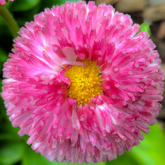 English Daisy (Timothy Valentine) Tags: home 0519 flower 2019 squaredcircle eastbridgewater massachusetts unitedstatesofamerica