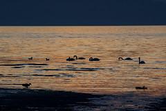 Sunset Doonfoot 12.05.19 (Robert Banks 1) Tags: sunset doonfoot ayr ayrshire scotland duck swan seagull sea