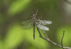 American Emerald at Silhouette Pond (Odonata457) Tags: teneral americanemerald corduliashurtleffi silhouettepond catoctinmountains frederickcounty maryland