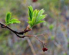 Lakewalk, Duluth 5/18/19 #lakesuperior #spring #leaves #trees (Sharon Mollerus) Tags: duluth mn