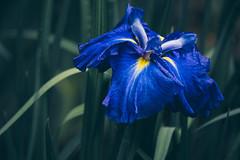 _DSC5011 (imamuan) Tags: flower iris japan tokyo machida yakushiike アヤメ ハナショウブ 花菖蒲 花 町田 薬師池 薬師池公園 東京 青 blue