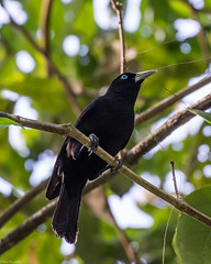 Gathering nest material (Fred Roe) Tags: nikond7100 nikonafsnikkor200500mm156eed nature naturephotography national wildlife wildlifephotography animals birds birding birdwatching birdwatcher cacique scarletrumpedcacique cacicusuropygialis colors outside flickr panama