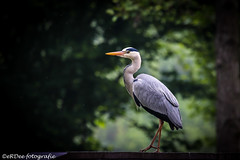 The heron seems to think .. one more stap with that canon and i'm off. (Ronald Dubbeldam) Tags: heron greyheron reigers blauwereiger wildlife water waterbirds nature natuur watervogels canon erdee