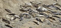 California, Pt. Reyes National Seashore, Chimney Rock, Elephant Seal Overlook, Snoozin' Seals (Mary Warren 13.5+ Million Views) Tags: ptreyesca national seashore park nature fauna animal mammal seal elephantseal chimneyrock
