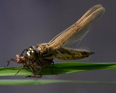 Libelle - frisch geschlüpft ! (robert.pechmann) Tags: dragonfly libelle larve insekt makro macro robert pechmann metamorphose libellenhaut natur libellenschlupf