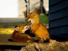 Baby Foxes - Play (aT0Mx) Tags: baby fox kit pup orange spring morning play brighton ontario canada vulpes pentax pentaxart pentaxlens pentaxphotography nature naturephotography