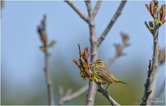 Palm Warbler (Summerside90) Tags: birds birdwatcher warblers palmwarbler may spring migration nature wildlife ontario canada