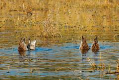 Bottoms up (NA.dir) Tags: keoladeo national park bharatpur india bird sanctuary birds migratory sony rx103 rx10mk3 rx10m3