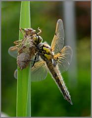 Libelle (robert.pechmann) Tags: libelle dragonfly insekt makro macro robert pechmann libellenlarve labellenhaut natur metamorphose libellenschlupf