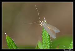 Coleophora sp. (cquintin) Tags: arthropoda lepidoptera coleophoridae coleophora macroinsectes