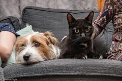 Sara. Black friend! 20/52 (Tõnno Paju) Tags: sara 52weeksfordogs animal dog jack russell terrier cat friend nikon sigma