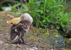 Mallard Duckling - Michael Bird (Just call me Doc) Tags: mallard duck chick young