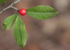 Ilex decidua--fruit (cotinis) Tags: plant tree shrub aquifoliaceae ilex ilexdecidua deciduousholly possumhaw northcarolina piedmont canonef100mmf28macrousm inaturalist