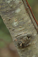 Ilex decidua--bark (cotinis) Tags: plant tree shrub aquifoliaceae ilex ilexdecidua deciduousholly possumhaw northcarolina piedmont canonef100mmf28macrousm inaturalist