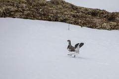 Balz beim Alpenschneehuhn (wsprecher) Tags: alpen alpenschneehuhn wildlife lagopus muta rauhfusshühner rheintal hühnervögel