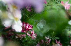 in the rose garden (Tomo M) Tags: helios bokeh 横浜イングリッシュガーデン light blur rose flower nature garden