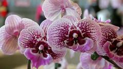 Orchidée mauve (vebests) Tags: fleur floraliesdenantes2019 nantes bokeh orchidée pjoysexyvenuscat
