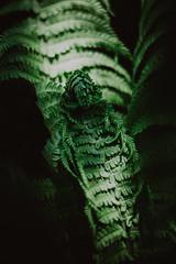 sleeping predator   l   2019 (weddelbrooklyn) Tags: natur pflanze pflanzen grün garten 50mm nikon d5200 lichtundschatten licht schatten farn nature plant plants green garden light shadows fern jungle urwald hamburgerfotofreaks predator