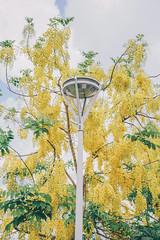 阿勃勒花海 (aelx911) Tags: a7rii a7r2 sony gmaster fe2470mmf28gm fe2470 landscape flower nature taiwan kaohsiung 台灣 高雄 岡山 阿勃勒 黃金雨 花海