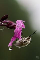 Bombyle (Yohan Cobac) Tags: exporter yohan yohancobac insecte insect bretagne brittany breizh france french finistère morbihan macro