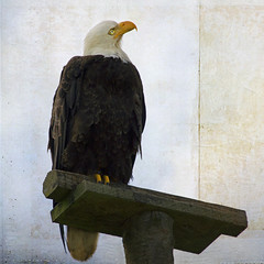 eyesight (1crzqbn) Tags: eagle bird sliderssunday textures flyingfreeatthebeach