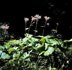 Adenostyles alpina (L.) BLUFF & FINGERH. Kahler Alpendost, Grüner Alpendost Alpine Plantain, Hedge Garlic (Spiranthes2013) Tags: adenostylesalpinalblufffingerh kahleralpendost alpineplantain hedgegarlic adenostylesalpina alpendost adenostyles plant pflanze pflanzendias plantae angiospermen angiosperms eudicots eudicosiden scan deutschland germany kfwolfstetter becker bayern bavaria unterfranken lowerfranconia lkmiltenberg 1991 6x6 6x6dias 6x6dia wildwachsendepflanzendeutschlands asteriden asternartige asteraceae korbblütler asteroideae senecioneae grüneralpendost