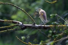 Crabier chevelu - Ardeola ralloides - Squacco Heron (Alain-46) Tags: crabierchevelu ardeolaralloides squaccoheron pélécaniformes ardéidés