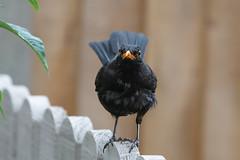 Blackbird (Les Kinder) Tags: blackbird turdusmerula britishbirds britishwildlife