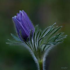 Anémone pulsatille (Lisbeth Gasser) Tags: anémones pulsatilles franchecomté extérieur plante fleur macro flauer
