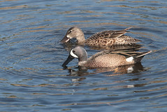 Blue-Winged Teal Couple (peterkelly) Tags: digital canon 6d northamerica florida usa us unitedstatesofamerica unitedstates largo fourseasonsestates waterfowl ducks duck pair bluewingedteal water wetland
