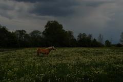 Horse in a dandelion meadow under a gathering thunderstorm (FHgitarre) Tags: horse pferd dandelion meadow leontodon löwenzahn wiese frühling springtime nature natur landschaft landscape