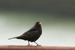 IMG_5271 (monika.carrie) Tags: monikacarrie wildlife scotland aberdeen blackbird