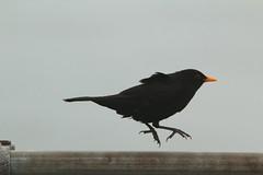 IMG_5257 (monika.carrie) Tags: monikacarrie wildlife scotland aberdeen blackbird