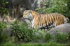 Tiger (DeanB Photography) Tags: 1dx 2019 animals leipzig löwe sigma sigma150600 tier tiere tierwelt zoo animal