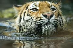 Tiger - schau mir in die Augen (DeanB Photography) Tags: 1dx 2019 animals leipzig löwe sigma sigma150600 tier tiere tierwelt zoo animal