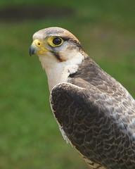 DSC07474a (Marcel Berbers) Tags: mittelaltermarktgrefrath roofvogels birdsofprey